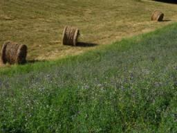 Alfalfa campo
