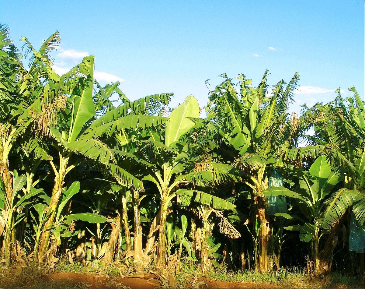Plátano árbol