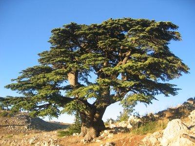 Cèdre_du_Liban.jpg