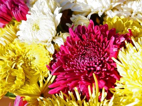 Chrysanthemums_web.jpg