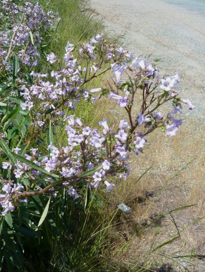 Eriodictyon-californicum_web.jpg