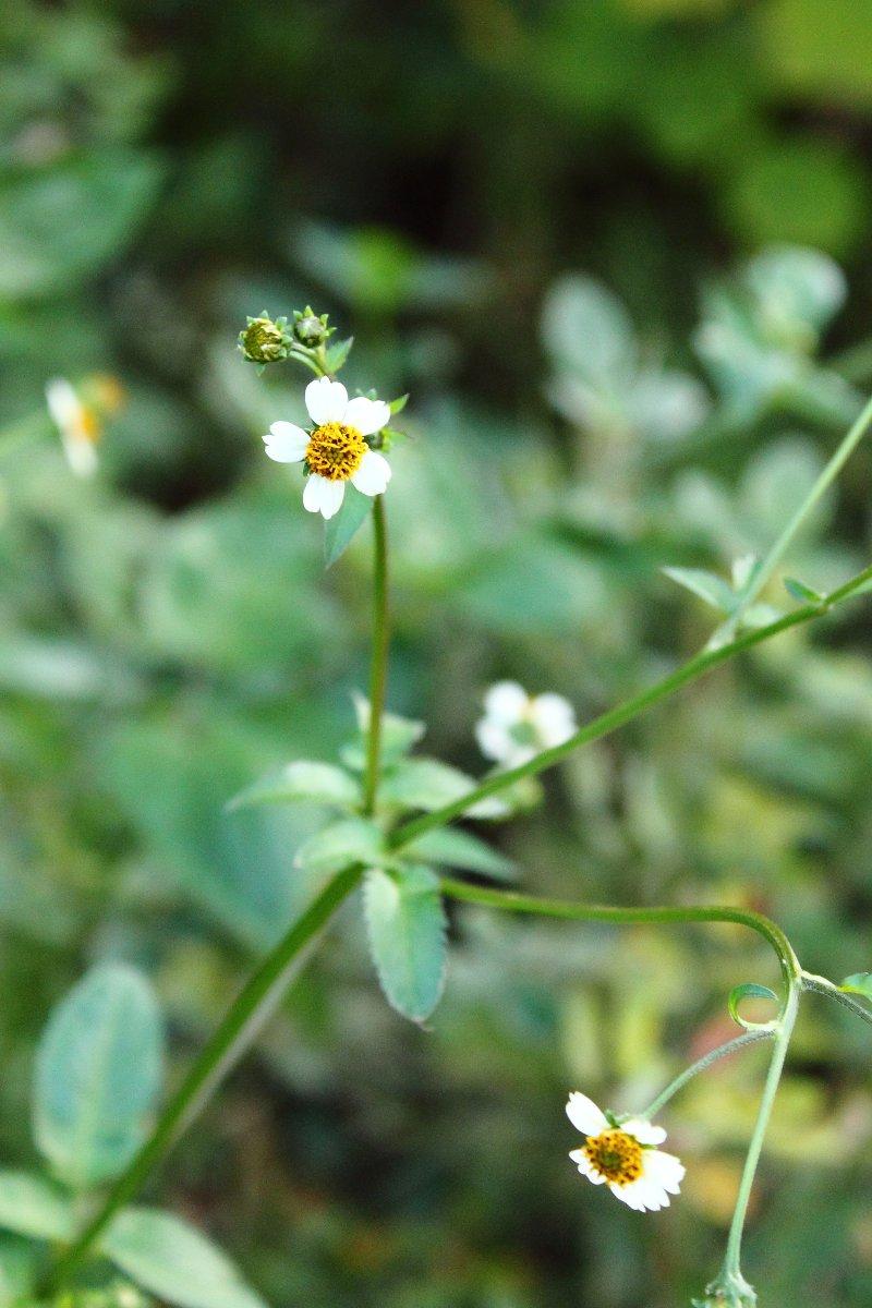 Flowers_of_Bidens_pilosa2.JPG