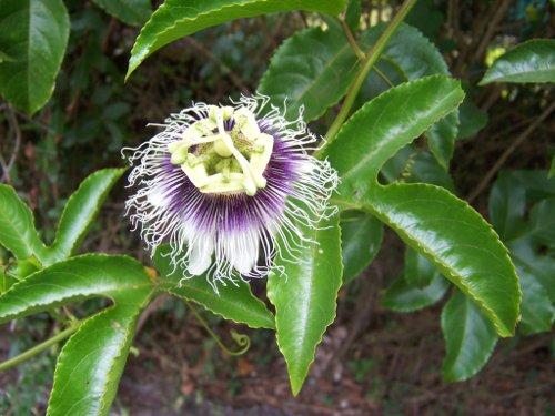 Passiflora_edulis_web.JPG