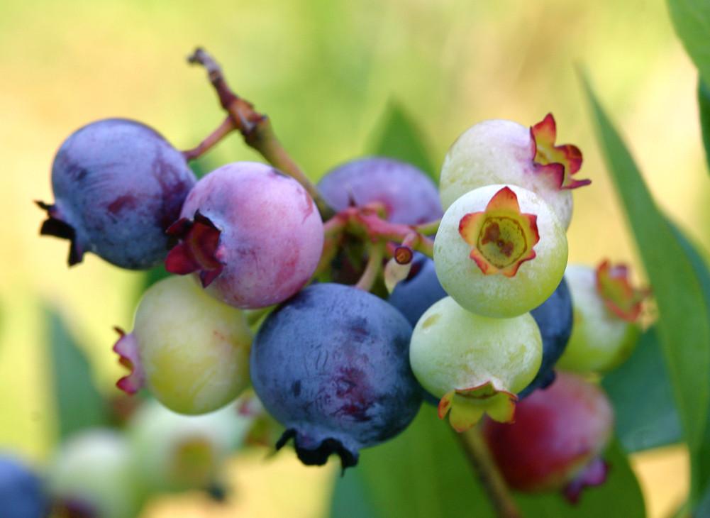 PattsBlueberries.jpg