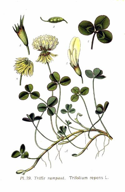 Trifolium_repens_web.jpg