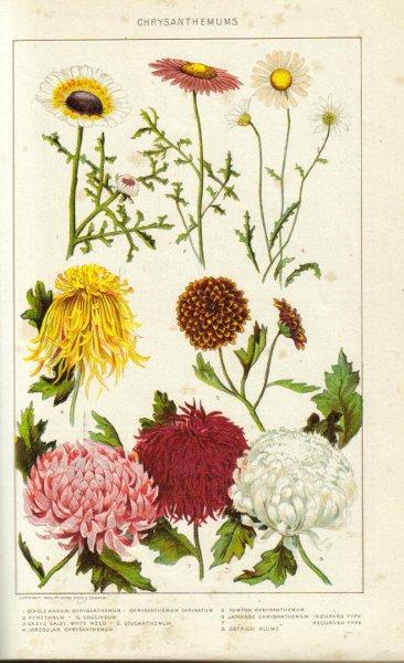 crisantemo1_web.jpg