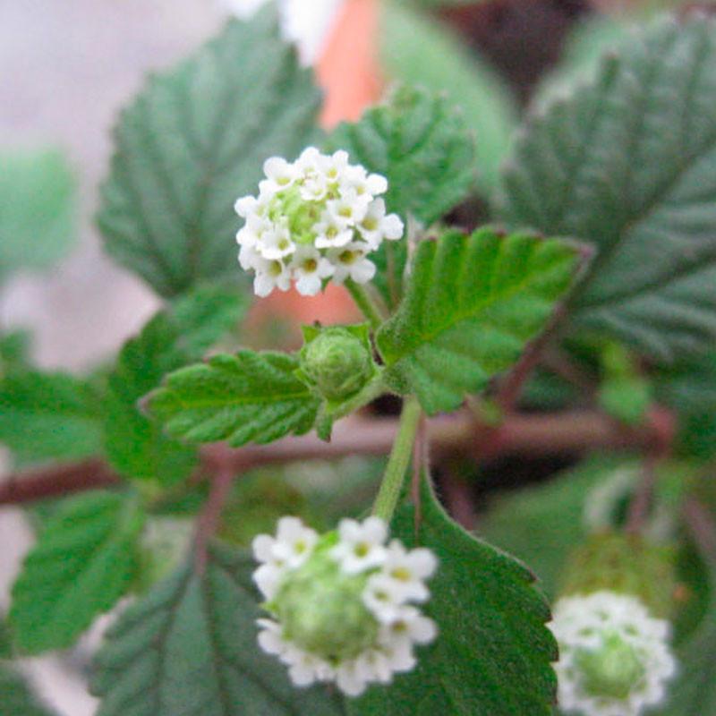 hierba-dulce-azteca-planta.jpg